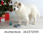 Samoyed Dog With Metal Bowl An...