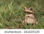 toad of amazon river | Shutterstock . vector #261635135