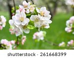Blooming Apple Tree In Spring...