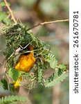 Small photo of A masked weaver hard at work, building a nest in an Acacia branch with some fresh green grass.