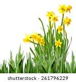 daffodil | Shutterstock . vector #261796229