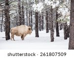 White Buffalo In Forest....