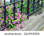 Petunias  Iron Fence And Stone...