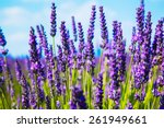 Lavender Flower Close Up In A...
