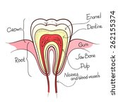 tooth cut anatomy layout... | Shutterstock .eps vector #262155374