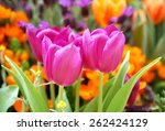 Pink Tulip On The Garden