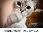 Stock photo white kitten with paw outstretched camera 262524965