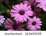 Purple African Daisy  ...