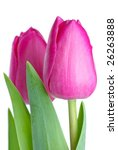 Pair Of Pink Tulips Isolated O...