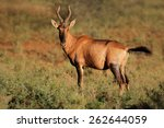 Small photo of A red hartebeest (Alcelaphus buselaphus) in natural habitat, South Africa
