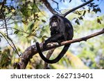 Small photo of A Black Howler monkey (Alouatta pigra) sits in the jungle canopy of Belize. Black howlers, found in Mexico, Guatemala, and Belize, are folivorous, eating mostly leaves and occasional fruits.