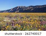 Desert Sunflower  Yellow   Dun...