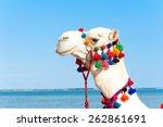 Proud White Camel Head Portrait ...