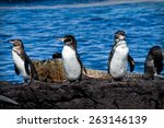 Group Of Penguins On A Rock...