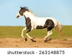 Beautiful Pinto Horse Running...