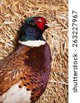 brace of pheasants   Shutterstock . vector #263227967