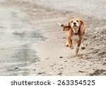 Stock photo beagle puppy running on the sea beach 263354525