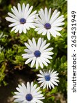 Small photo of Arctotis grandis, blue or violet in the middle, Ibiza, Spain. Vertical shoot