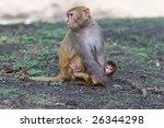 the rhesus macaque monkeys in... | Shutterstock . vector #26344298