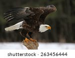 A Bald Eagle  Haliaeetus...