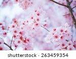 sakura. cherry blossom. shallow ... | Shutterstock . vector #263459354