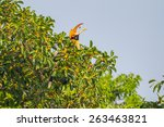 Female Great Hornbill  Buceros...