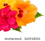 Colorful  Hibiscus Flowers...
