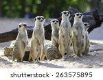 The Meerkat Standing Abreast