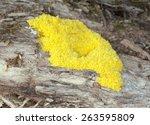 Fuligo Slime Mold On Wood