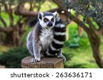 Ring Tailed Lemur In An Embrac...