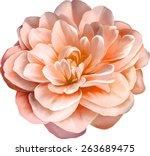 red orange rose camellia flower ... | Shutterstock .eps vector #263689475