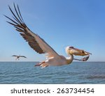 Great White Pelican Catches...
