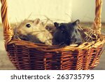 The Black Gerbil And Mongolian...