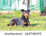 Small photo of Pinscher dog outdoor.