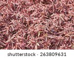 Small photo of Red leaf, Acalypha wilkesiana
