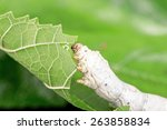 Green Mulberry Leaf ...