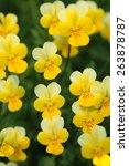 Yellow Wild Pansy Flowers  ...