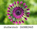Purple Daisy  African Daisy Or...