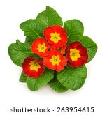 red primrose closeup isolated... | Shutterstock . vector #263954615