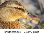 Portrait Of The Wild Duck Female