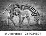 Baby Zebra And Mother In A...