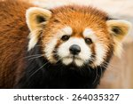 Frontal Portrait Of A Red Panda