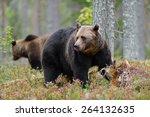 Small photo of Big male brown bear with other bear in the background