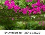 Vivid Pink Bougainvillea...