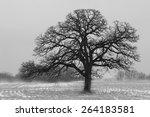 Lone Misty Winter Oak