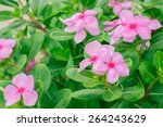 Madagascar Or Periwinkle Or...