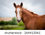 Stock photo american paint horse 264412061