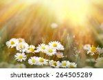Daisy Flowers Lit By Sunbeams...