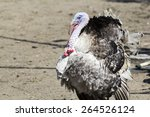 Profile Of A Turkey With...