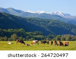 Herd Of Cows Is Grazed On A...